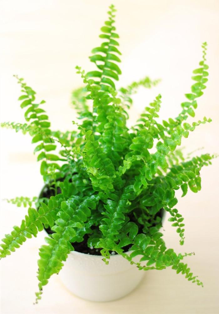 净化空气的室内植物(五)